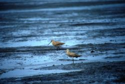 Marbled Godwits at Cinder River Lagoon Photo