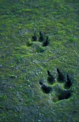 Wolf Tracks in Sand Photo