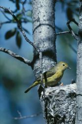 Yellow warbler attends to the nest Photo