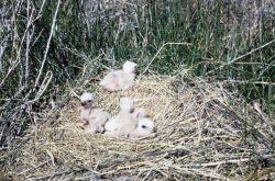 Marsh Hawk or Northern Harrier Chicks in Nest Photo