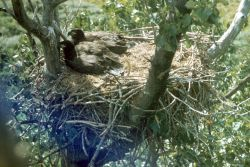 Bald Eagle Fledglings in Nest Photo