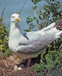 Herring Gull on Nest Photo