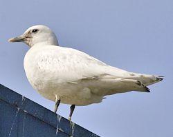 Ivory Gull Photo