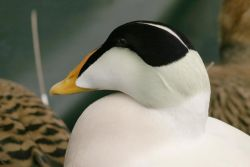 Common Eider Male Photo
