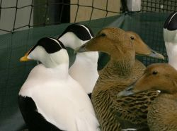 Common Eider Males and Females Photo