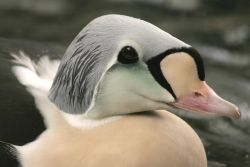 King Eider Male Photo