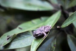 Pine Woods Tree Frog Photo