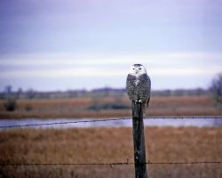 Snowy Owl on Fence Post Photo