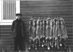 Fox Trapping on Unimak Photo