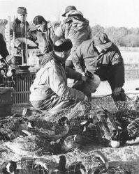 Goose Banding Operation Photo