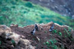 Least Auklets on Bluff Edge Photo