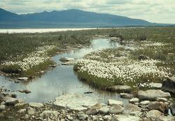 Cottongrass Along the Upper Coleen River Photo