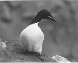 Aleutian Thick-Billed Murre Photo