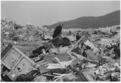 Bald Eagle on Adak Island Dump Photo