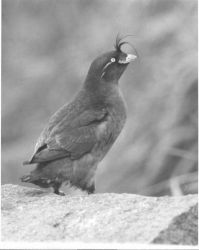 Crested Auklet Photo