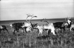 Caribou at King Salmon Photo