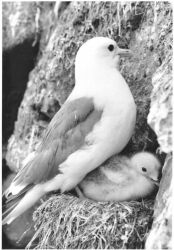Kittiwake and Chick Photo