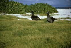 Black-footed Albatross Pair Photo