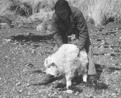 Mountain Goat Transplant on Kodiak Island Photo