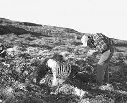 Biologist Chatelain Examines Dead Musk Ox Photo