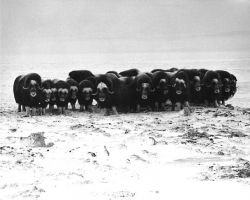 Nunivak Musk Oxen in Defensive Formation Photo