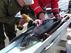 Radio Tag Lake Sturgeon Photo
