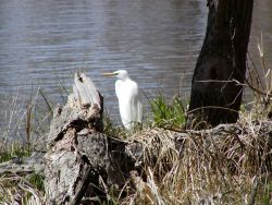 Great Egret Upper Mississippi Photo