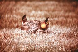 Prairie Chicken on Fergus Falls Prairie Photo
