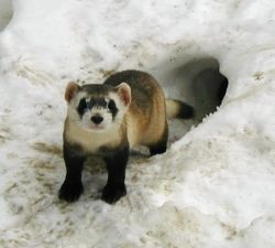Adult Black-footed ferret Male in Outdoor Pen at the National Black-footed Ferret Conservation Center Photo