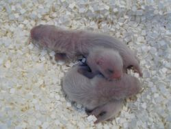 First Litter of 3 Black-footed ferret Kits born at the National Black-footed Ferret Conservation Center in 2005 Photo