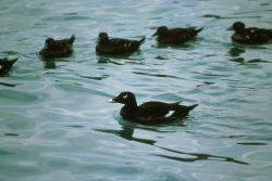 White-winged scoter Photo