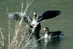 White Fronted Geese Photo