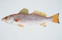 Spotted seatrout Photo