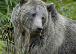 Grizzly Bear in Yellowstone National Park Photo