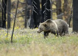 Grizzly Bear in Field at Yellowstone National Park Photo