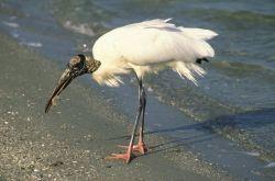 Wood Stork Feeds on the Shore Photo