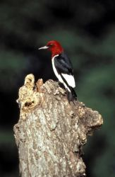 Red-headed woodpecker Photo