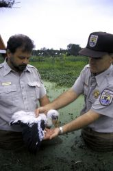 FWS Workers with Wood Stork Chick Photo