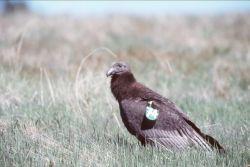 Juvenile Condor Photo