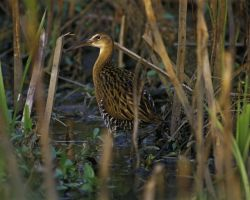 King Rail at Clarence Cannon National Wildlife Refuge Photo