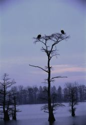 Bald Eagles at Reelfoot National Wildlife Refuge Photo