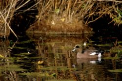 American wigeon Photo
