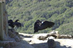 California Condors Photo
