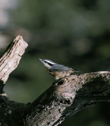 Red-breasted nuthatch Photo