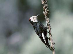 White-headed woodpecker Photo