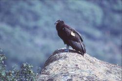California Condor Photo