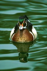 Wood Duck Photo