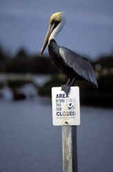 Brown Pelican Perches on Refuge Sign Photo