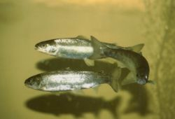 Atlantic Salmon smolts Photo