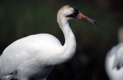 Whooping Crane Photo